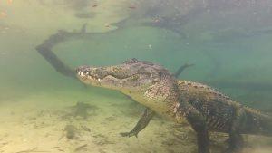 Aligator în habitatul natural, în Florida
